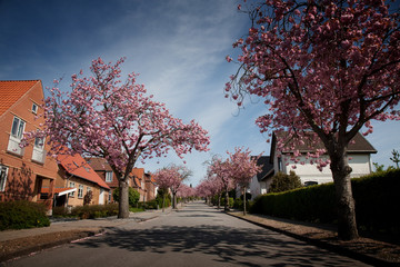 Japanese cherry on a villa road