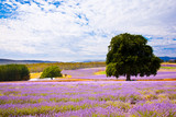Fototapety Lavender farm