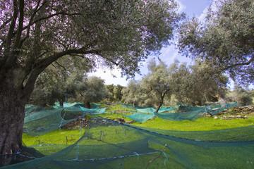 oliviers corses