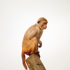 Rhesus monkey at the Heidelberg's Zoo, Germany