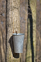 Bucket on Tree to Collect Sap