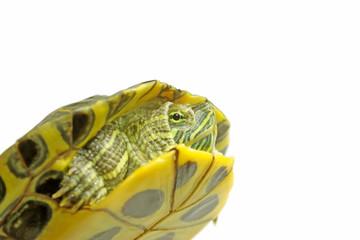 brazilian tortoise