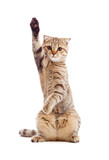 Fototapety funny kitten pointing up by one paw