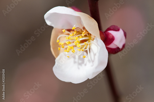 flower(Prunus_mume)_01