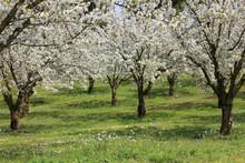 Huerto de manzanos en flor