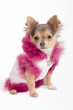 Chihuahua puppy wearing white jacket with pink fur