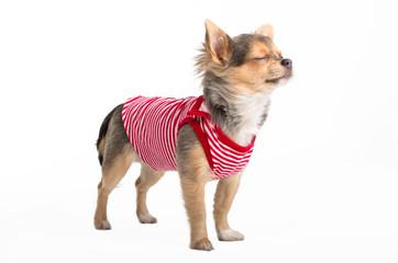Dreaming Chihuahua puppy wearing t-shirt, bathing in the sun