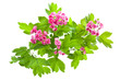 Flowering branch of Crataegus