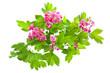 Flowering branch of Crataegus