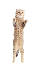 jumping flying kitten or cat  striped Scottish fold isolated stu