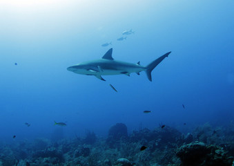 large caribbean reef shark swimming, roatan, honduras