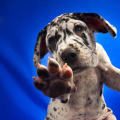 Doggenwelpe #1