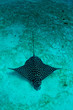 Eagle ray in the sand