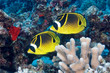 Raccoon Butterflyfish at Wailea Maui Hawaii