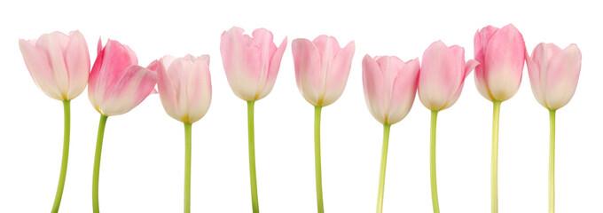 Zart Rosa Frühlings Tulpen
