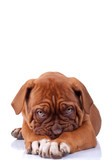 shy puppy, dogue de bordeaux