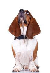 Basset Hound dog looking up