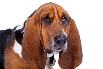 face of a cute basset hound dog