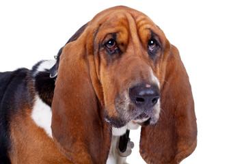 face of a cute basset hound dog