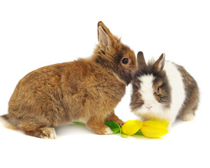 funny pair of rabbits with tulips