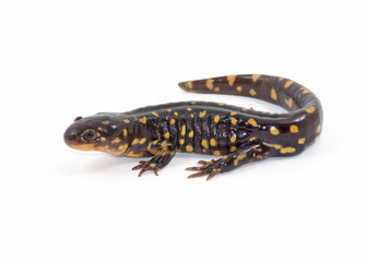 Isolated Tiger Salamander