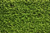 Fototapety Green leaves wall background .