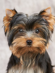 Portarait of the Yorkshire Terrier