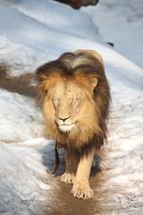 Lion walking in snow