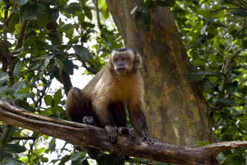 Young Capuchin Monkey sitting in tree