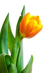 colorful fresh tulip