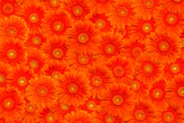 Floral background with orange gerberas