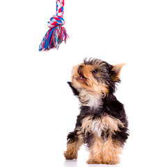 Little dog (Yorkshire Terrier) with toy