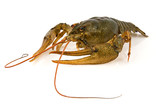 big alive crayfish on a white background poster