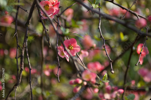 Japanese ornamental Apple Blossom