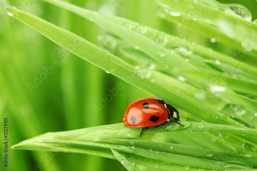biedronka-na-trawie