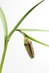 Schachbrettblume - Fritillaria meleagris