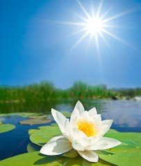 white lily and a sparkle sun