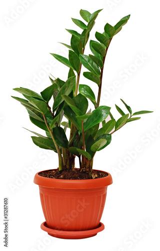 zamioculcas zamiifolia plant imagens e fotos de stock royalty free no imagem. Black Bedroom Furniture Sets. Home Design Ideas