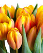 colorful fresh tulips