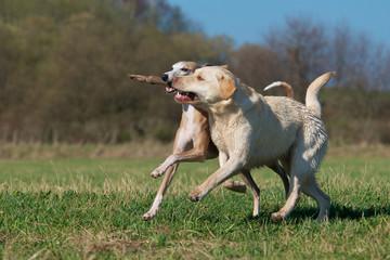 Zwei hübsche Hunde laufen mit Stock