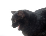 Black cat meowing on white background poster