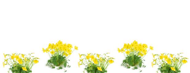 Flower oxalis (L. Oxalis lobata )