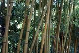 Fototapeta canne di bambù