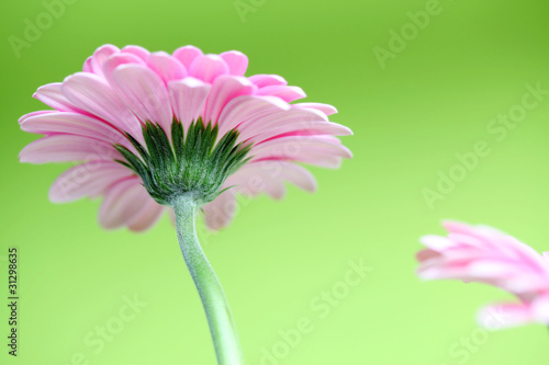pink flower in spring with green background