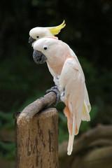 zwei Kakadus