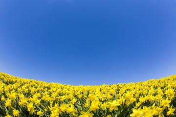 青空の下の水仙畑