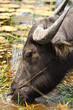 Grazing Water Buffalo
