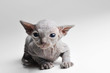 cute bald baby cat