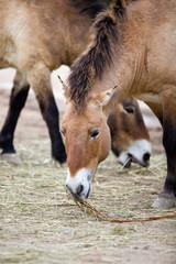 Przewalski's Horse (Equus ferus przewalskii,Тахь, Takhi or D