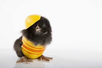 Sweet black baby chick in yellow painted eggshell